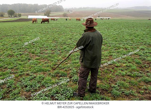 Farmer tending his Salers cattle in meadow, grass and clover meadow, Middle Franconia, Bavaria, Germany