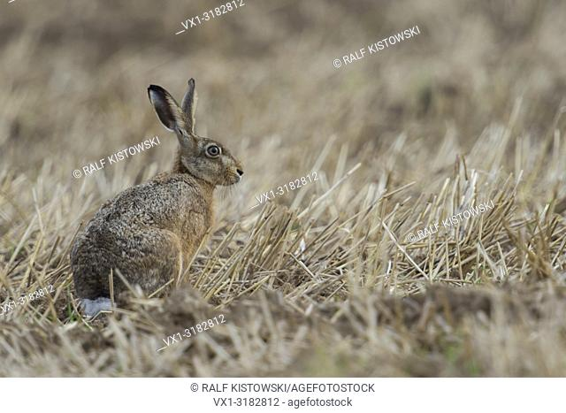 Attentive Brown Hare / European Hare ( Lepus europaeus ) sitting in a stubble field, harvested field