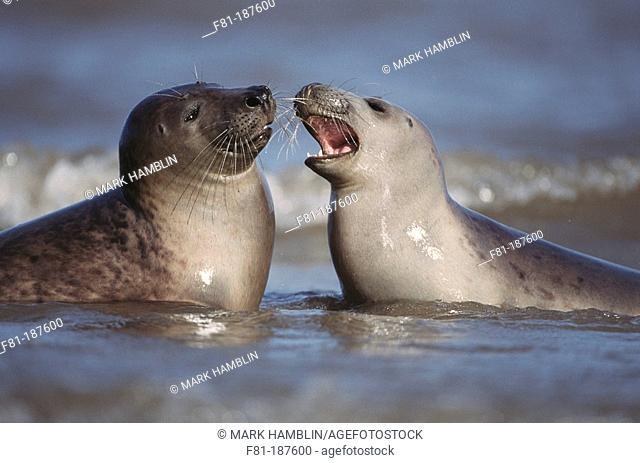Grey Seals (Halichoerus grypus), play-fighting in water. UK