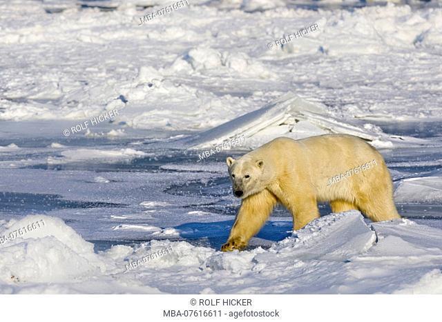 Polar Bear, Ursus maritimus, on the icy fringes of Hudson Bay, Churchill, Manitoba, Canada