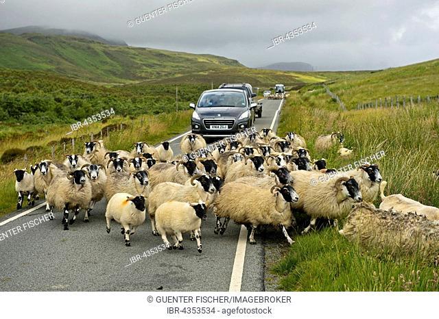 Herd of Scottish Blackface sheep blocking traffic on narrow country road, Isle of Skye, Scotland, United Kingdom