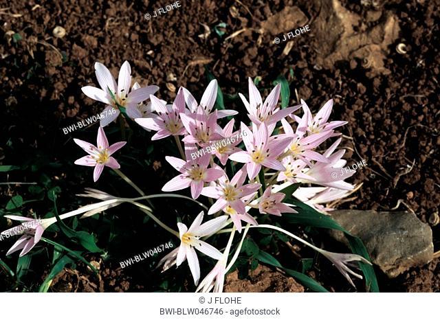 meadow saffron Colchicum cupanii, blooming plants, Spain, Majorca