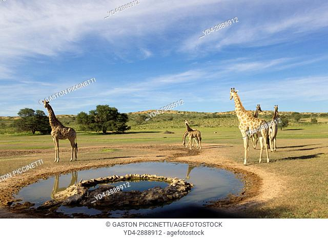 Giraffe (Giraffa giraffa giraffa), in the waterhole Kgalagadi Transfrontier Park, Kalahari desert, South Africa/Botswana