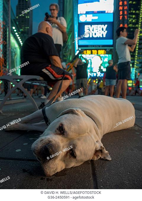 Pet dog relaxing on street, people photographing in the background, Times Square, New York, New York