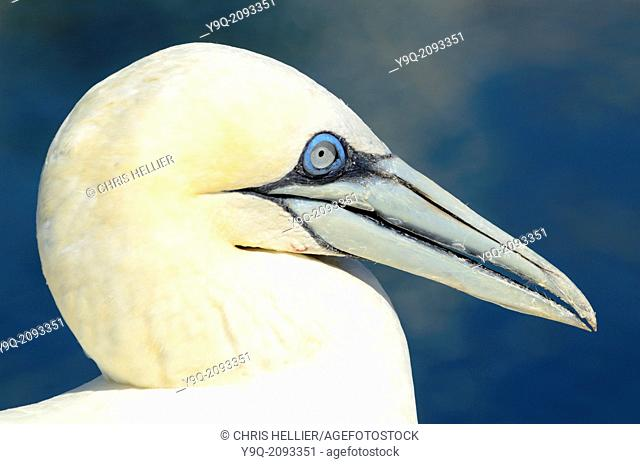 Portrait of Adult Gannet