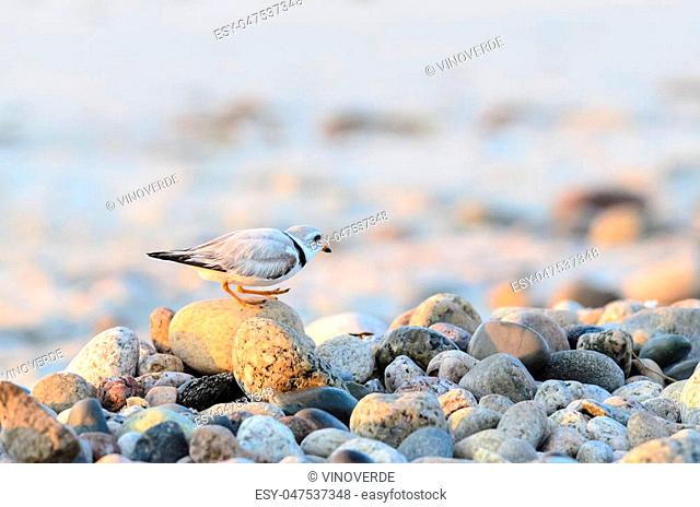 Piping Plover gets good view of rock-strewn beach