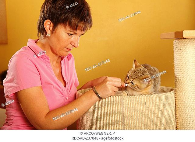 Woman and British Shorthair Cat / giving pill
