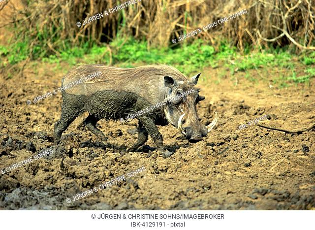 Warthog (Phacochoerus aethiopicus), adult, after a mud bath, Kruger National Park, South Africa