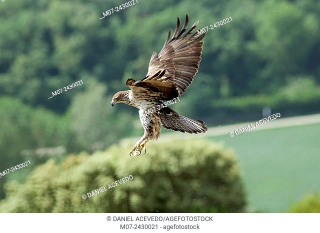 Bonelli`s eagle, Aquila fasciata at its territorial site. Spain, Europe