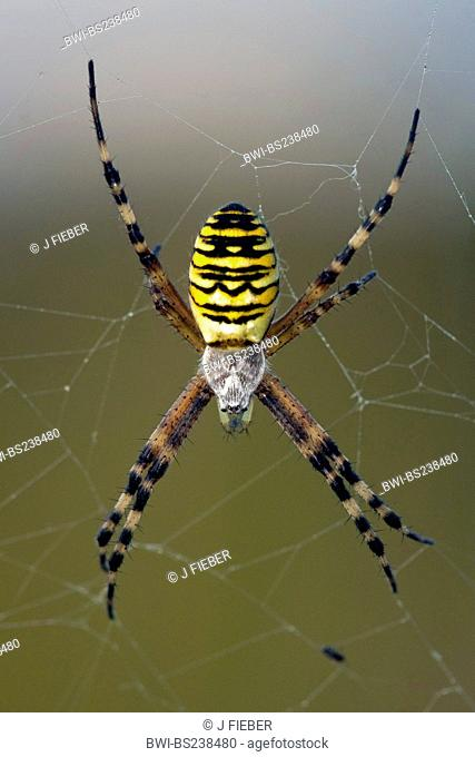 black-and-yellow argiope, black-and-yellow garden spider Argiope bruennichi, sitting in its web, Germany, Rhineland-Palatinate