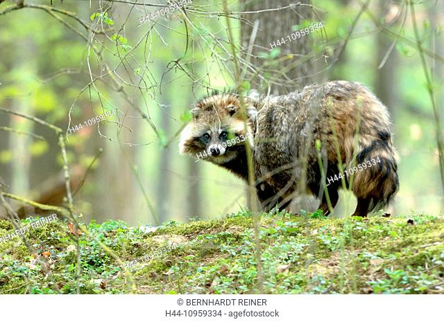 raccoon dog, Enok, Nyctereutes procyonoides, canids, predators, spring, Immigrated, wild animals, invasive, fur, fur animal, run away livestock, Nocturnal