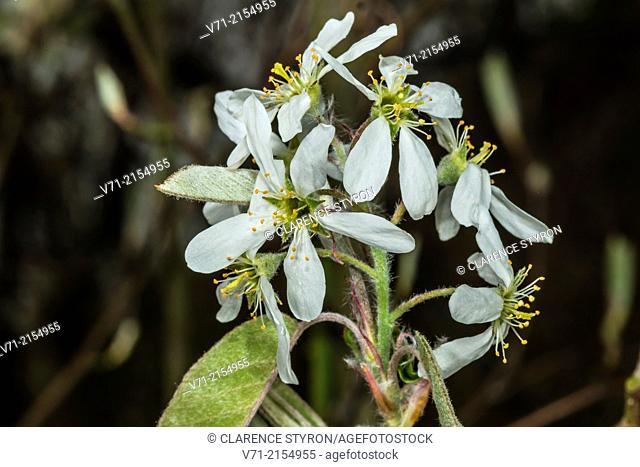 Beach Plum (Prunus maritima) Influorescence