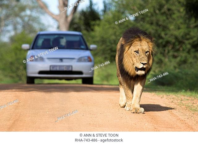 Lion Panthera leo, and tourist vehicle, Kruger National Park, South Africa, Africa