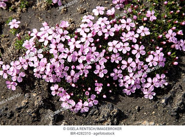 Moss campion or cushion pink (Silene acaulis), Iceland