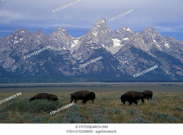 Grand Teton National Park, Jackson Hole, WY, Wyoming, bison (buffalo) herd