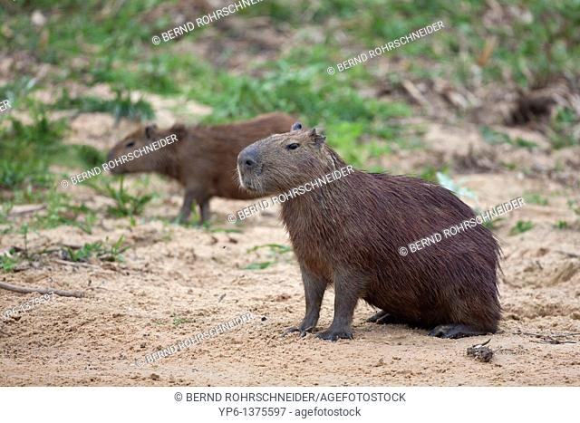 2 Capybaras Hydrochoerus hydrochaeris on river bank, Pantanal, Brazil