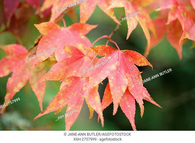 acer palmatum amoenum autumn leaves in colour change
