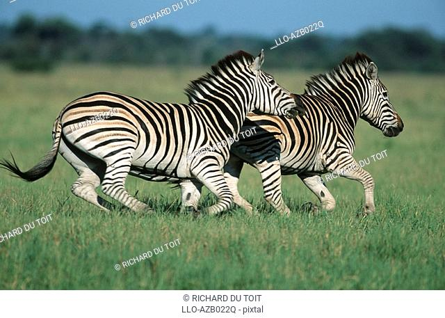 Pair of Burchell's Zebra Equus burchellii Running in the Bushveld  Savuti, Chobe National Park, Botswana