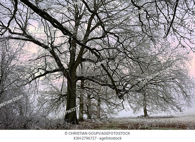 covered in frost oak trees in a field on the edge of the Forest of Rambouillet, Haute Vallee de Chevreuse Regional Natural Park, Yvelines department