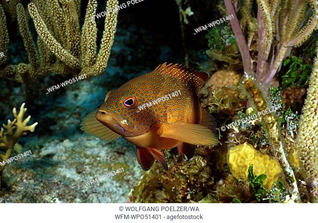 Grouper in colorful coral reef, Epinephelus fulvus, Caribbean Sea, Cayman Islands