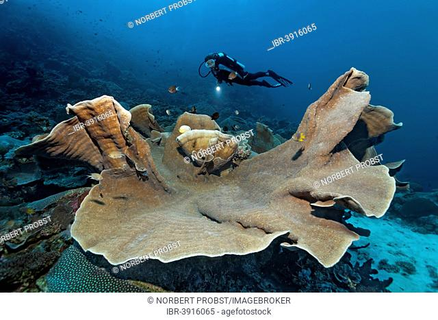 Pagoda Coral (Turbinaria mesenterina), scuba diver at the back, Great Barrier Reef, UNESCO World Natural Heritage Site, Pacific Ocean, Queensland, Australia
