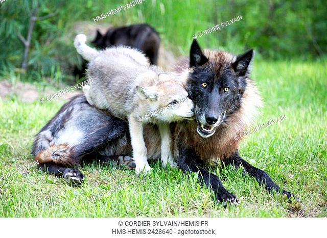 United States, Minnesota, Wolf or Gray Wolf or Grey Wolf (Canis lupus), adult and youngs