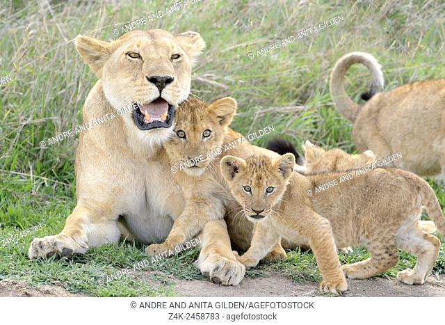 Lion cubs (Panthera leo) playing with lioness mother on the savanna, Serengeti national park, Tanzania