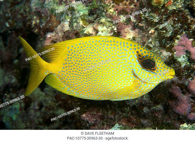 Australia, Coral rabbitfish (Siganus corallinus) side vu yellow w/ blue spots C1957