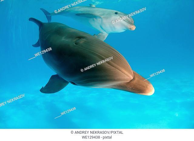 Bottlenose dolphin (Tursiops truncatus), Dolphinarium, Odessa, Odessa Oblast, Ukraine, Europe