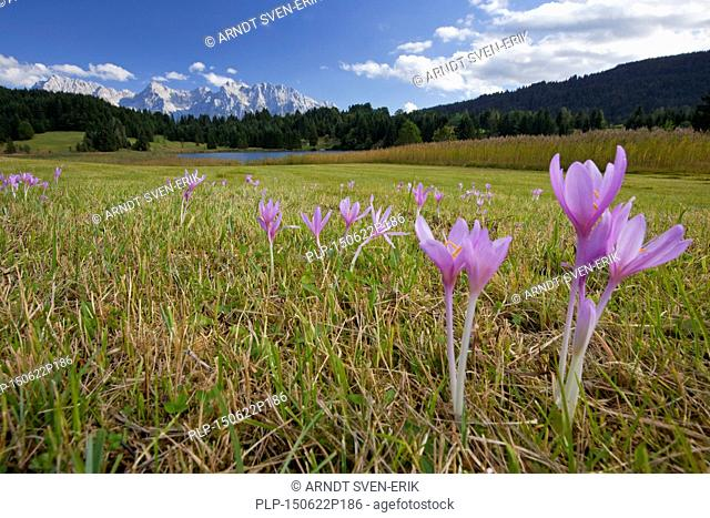 Spring crocuses / Giant croci (Crocus vernus albiflorus) flowering in meadow in spring at Werdenfelser Land, Bavaria, Germany