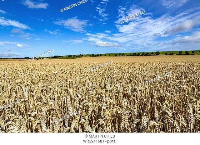 Large ripening wheat field in Northumberland, England, United Kingdom, Europe