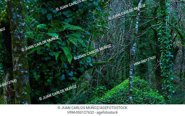 Chestsnut forest, Arrikrutz cave, Oñati, Gipuzkoa, The Basque Country, Spain, Europe