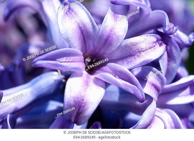 Close up of blue hyacinth flowers