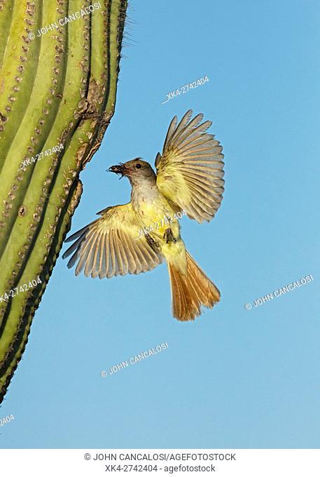 Ash-throated Flycatcher, Myiarchus cinerascens, Sonoran desert , Arizona, bringing food to nest in saguaro cactus