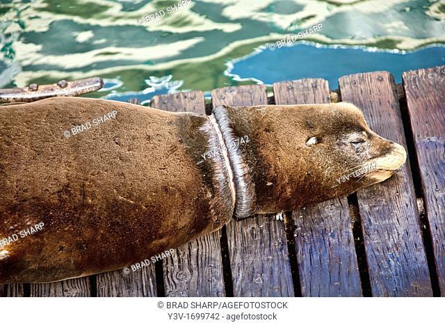 California Sea Lion Zalophus californianus with scars from monofiliment fishing line, used by sports fishermen. Newport, Oregon, USA