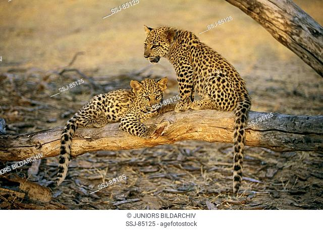 leopard - two cubs on branch / Panthera pardus