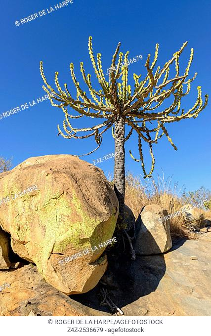 Lebombo euphorbia ( Euphorbia confinalis). Kruger National Park. Mpumalanga. South Africa