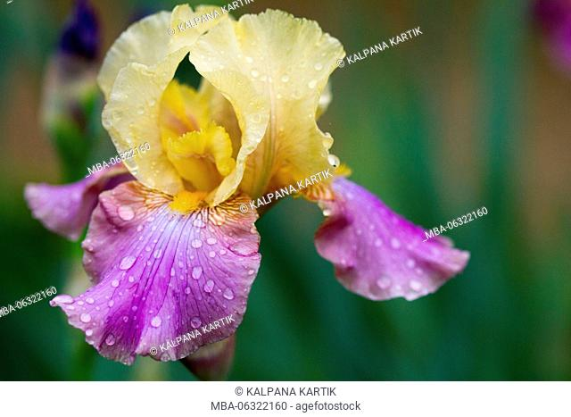 Iris flower of Bagatelle