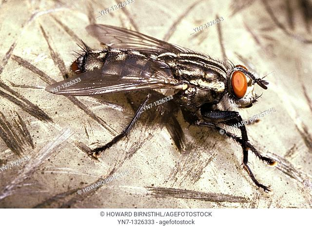 close up of typical house fly Musca domestica
