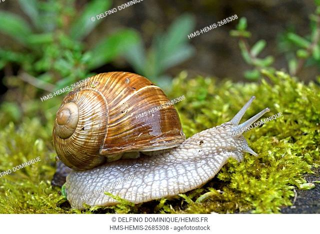 France, Doubs, Brognard, Burgundy Snail (Helix pomatia