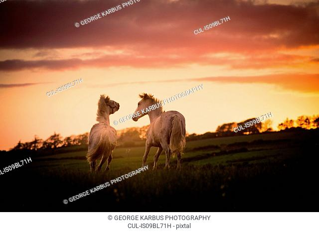 Two white horses, running in field at sunset, Doolin, Clare, Ireland