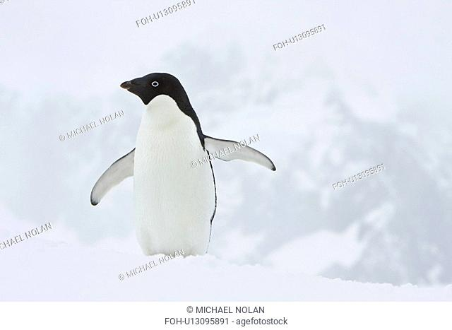 A lone adult Adelie penguin Pygoscelis adeliae on an iceberg off Port Lockroy, Antarctica. There are an estimated 2 million breeding pairs of chinstrap penguins...