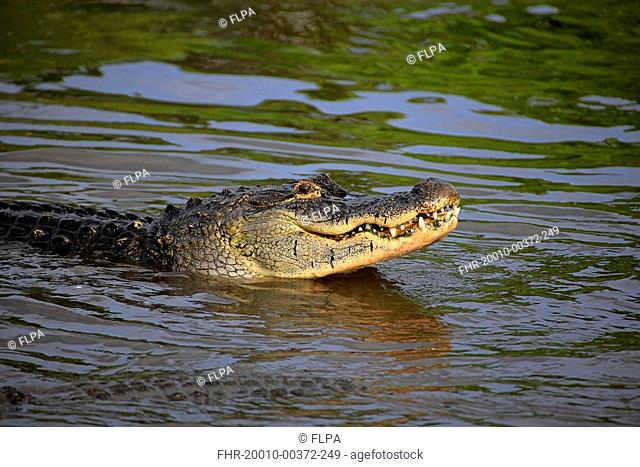 American Alligator Alligator mississipiensis adult, feeding, head out of water, Florida, U S A