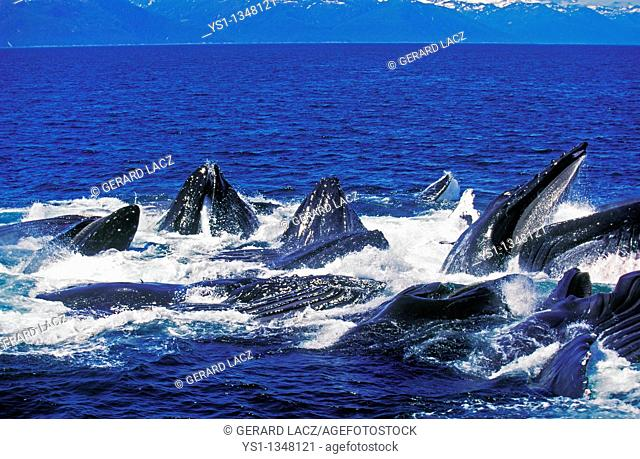 HUMPBACK WHALE megaptera novaeangliae, GROUP DOING A CIRCLE TO CATCH KRILL AT SURFACE, ALASKA