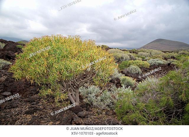 Flora of the Canary Islands. Special Nature Reserve Güímar badlands. Tenerife. Canary Islands
