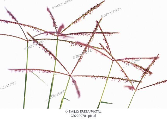 Bermuda Grass (Cynodon dactylon)