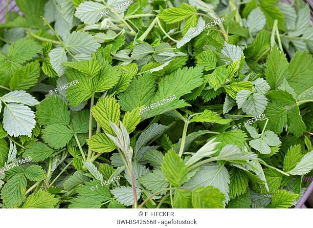 European red raspberry (Rubus idaeus), collected, young raspberry leaves