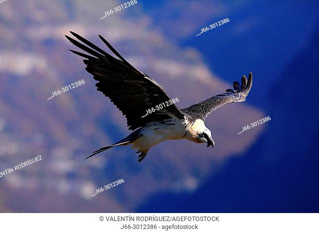 Bearded vulture (Gypaetus barbatus) in flight in the Ordesa y Monte Perdido national park. Huesca