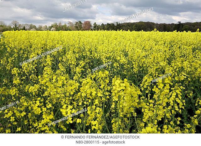 Rape field in Oxfordshire. England