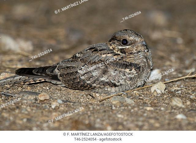 European nightjar or gray nightjar Caprimulgus europaeus. Parque de Suroeste, Madrid Province, Spain